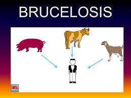 ciclo de la brucelosis