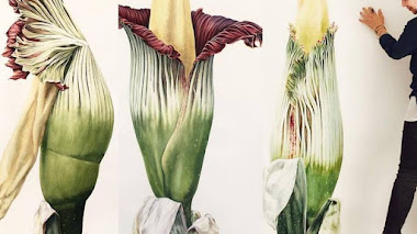 Tres artistas botánicas y una flor cadáver (Amorphophalus titanum)