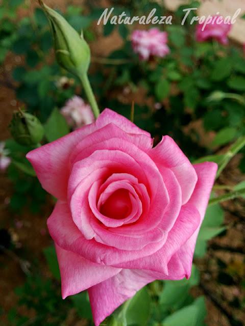 Rosa rosada muy linda