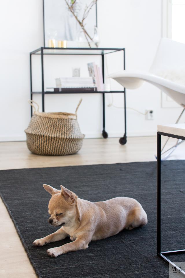 chihuahua, sisustus, olohuone
