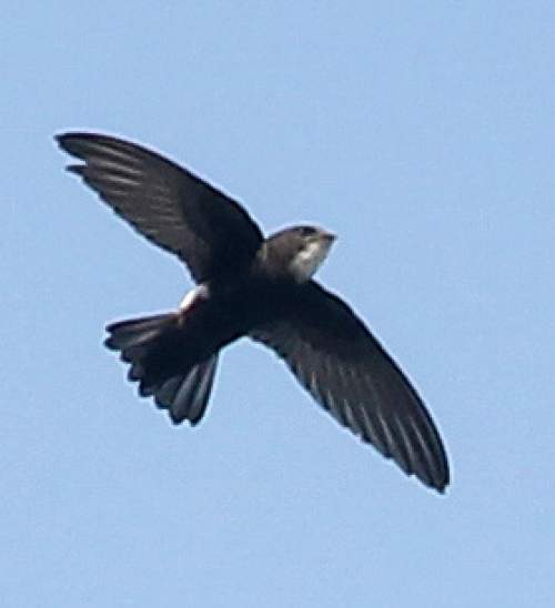 Indian birds - Photo of House swift - Apus nipalensis