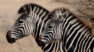 zebra w paski