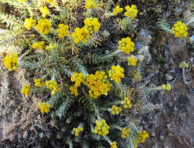 Manzanilla bastarda (Helichrysum stoechas) flor silvestre amarilla