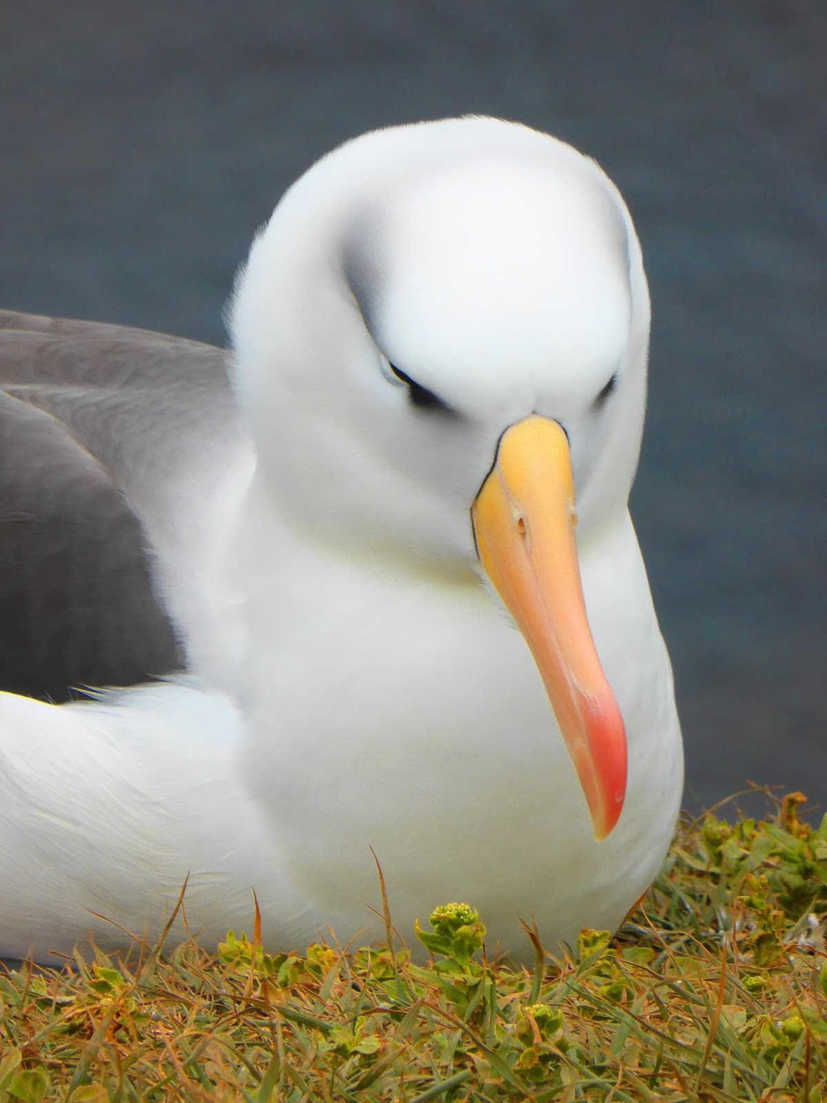 Picture of an albatross bird.