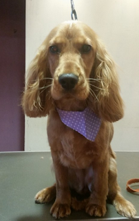 puppys first pamper when to get my cocker spaniel  puppy groomed