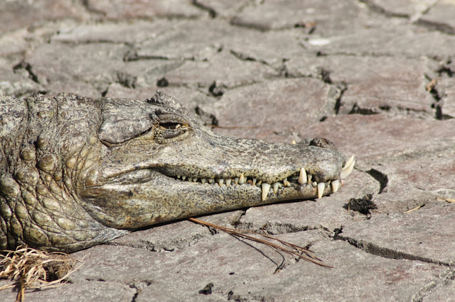 verschil alligator krokodil