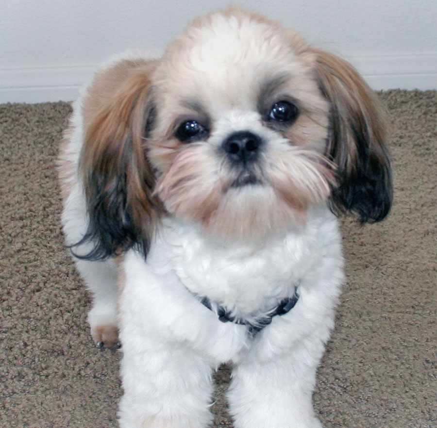 photos of shih tzu puppies toy dog puppies pictures 947