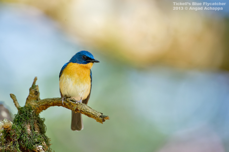 Tickell's Blue Flycatcher – A dream setting!!