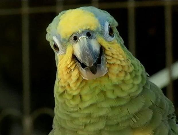 A Síndrome do Papagaio