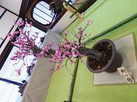 大阪天満宮・大盆梅展(盆梅と盆石展) 緋の袴