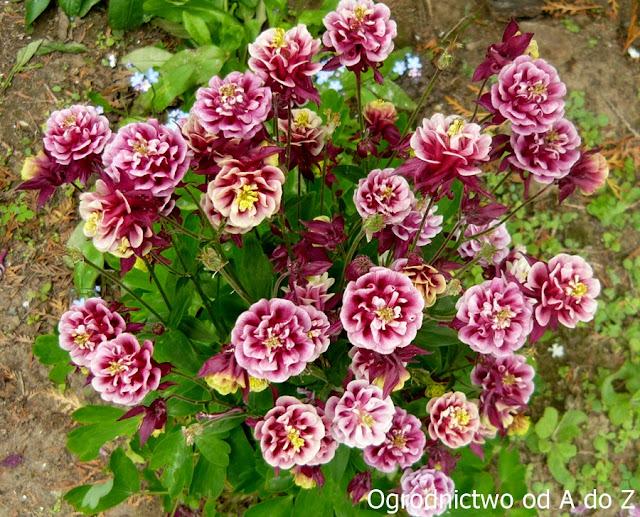 Orlik o pełnych kwiatach