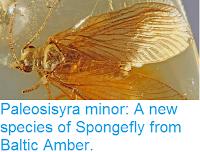http://sciencythoughts.blogspot.co.uk/2016/08/paleosisyra-minor-new-species-of.html