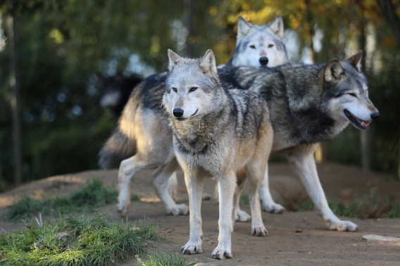 Three wolves standing together