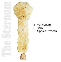 tulang dada disebut dengan tulang sternum
