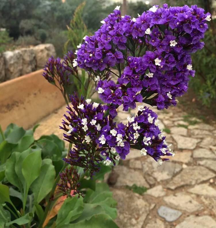 Limonium arborescens (endémico de las Islas Canarias)