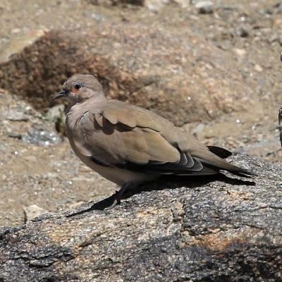 black winged ground dove