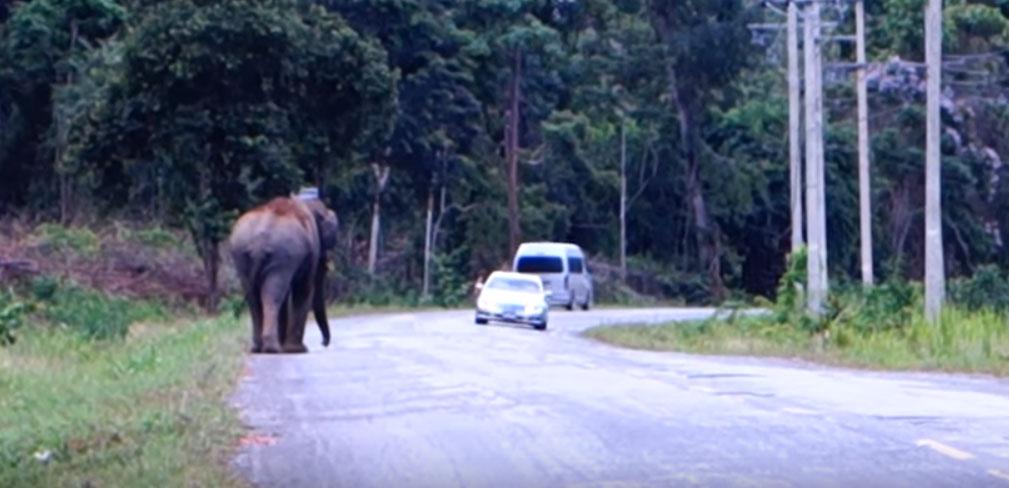 Ελέφαντας βγήκε στον δρόμο και σταματάει τα αυτοκίνητα (VIDEO)