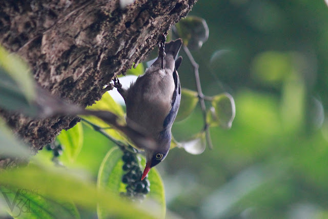 Velvet-fronted nuthatch(12.5 cm) - Coorg