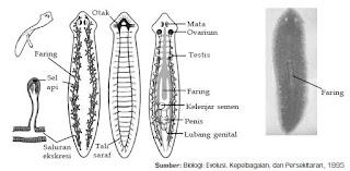 Klasifikasi, Contoh, Serta Siklus Hidup Hewan dari Filum Platyhelminthes Kelas Turbellaria, Kelas Trematoda, dan Kelas Cestoda