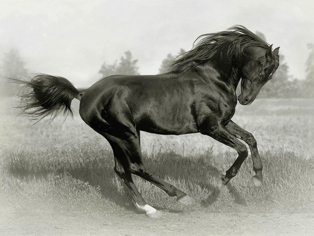 Unique Animals blogs: Black Horses, Black Horse Wallpapers ...