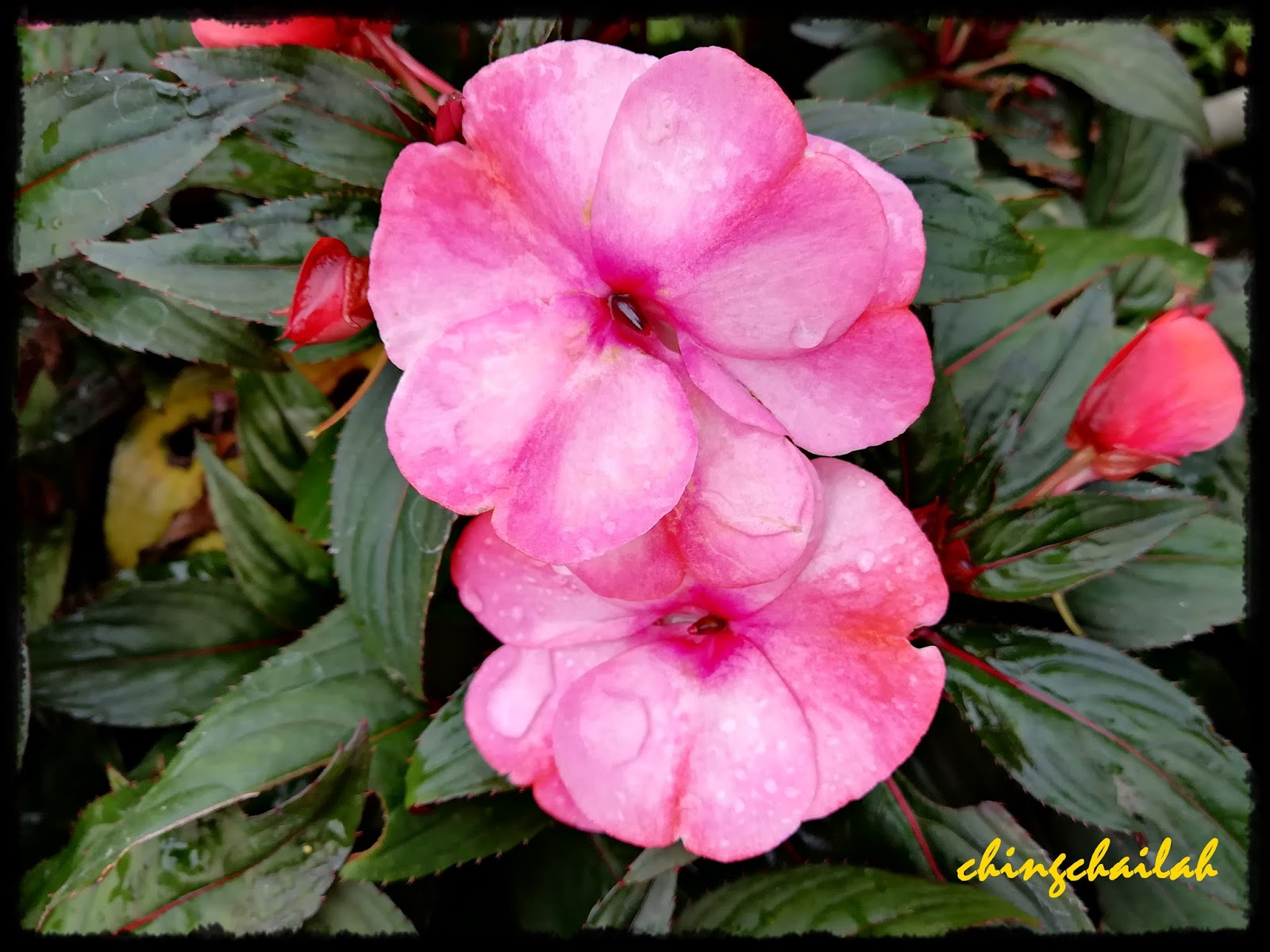 Simple living in nancy beautiful flowers from cameron highlands pink flowers cant remember the name impatiens hawkeri new guinea thanks to riitta for the id mightylinksfo