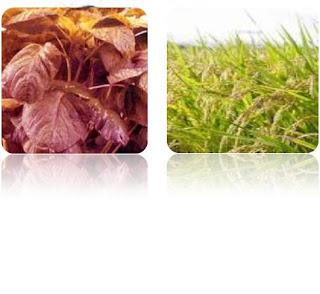 batang basah, batang berkayu, batang rumput, batang mendong