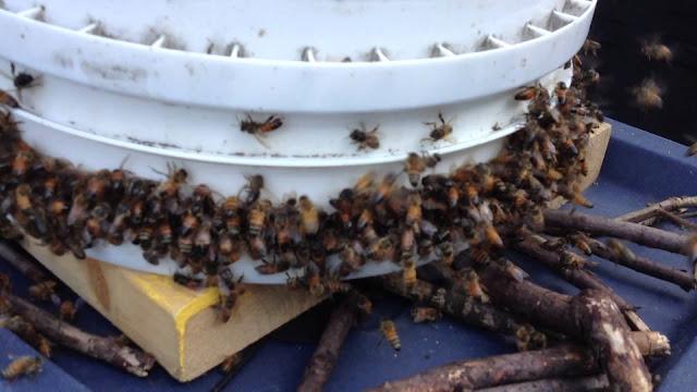 Ανοικτή τροφοδοσία μελισσιών: Σωστό ή λάθος; ΛΑΘΟΣ