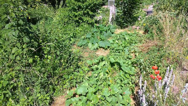 Die Einlegegurken und Pattisons  wachsen kräftig trotz  Unkraut im Weihergarten (c) by Joachim Wenk