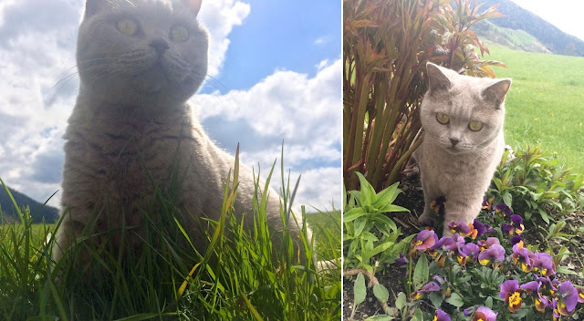 Katze, Britisch Kurzhaar, British Shorthair, grey, lilac, cat, pet, funny
