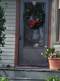yellow lab dog peeking through the front door with a Christmas Wreath hung on door