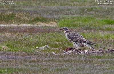 Halcón gerifalte Falco rusticolus