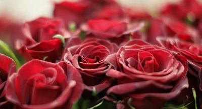 nama latin bunga mawar merah muda,nama latin bunga mawar putih,nama latin bunga matahari,nama latin bunga mawar hitam,bunga mawar dan nama latinnya,nama ilmia bunga mawar,nama latin mawar biru,
