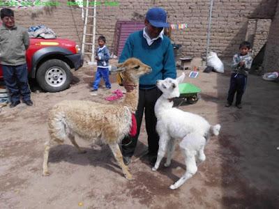 Lama und Bicunia