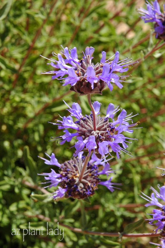 Beautiful Flowers And Fragrant Foliage Try This Lesser