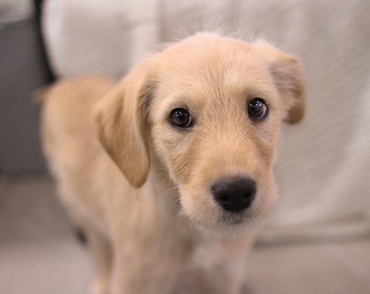 yellow lab mix puppies - photo #4