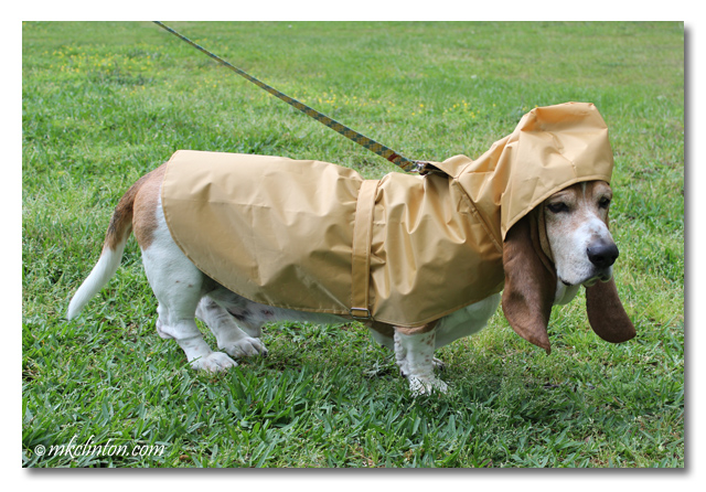 Bentley Basset Hound wearing his Tribeca PrideBites raincoat