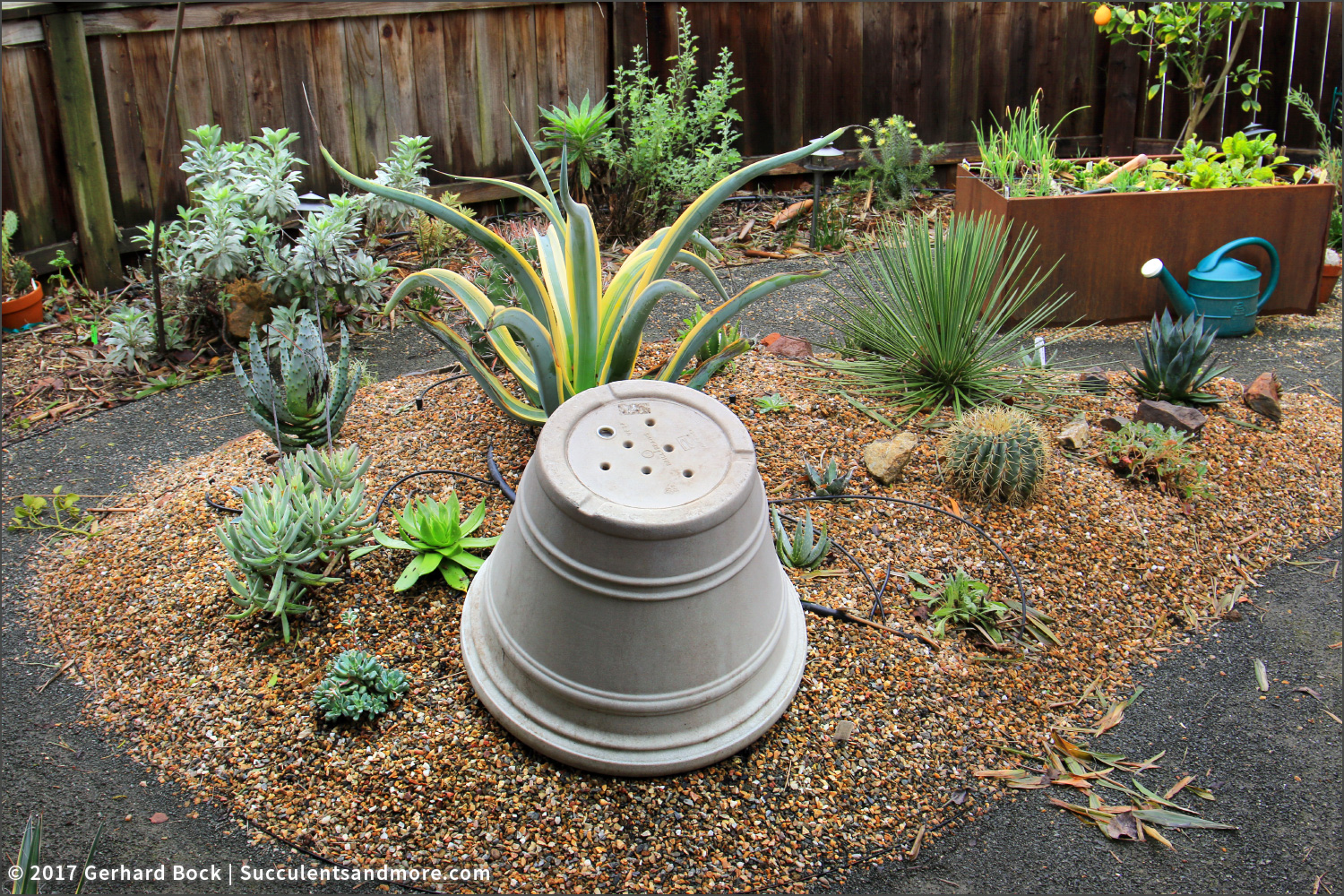 Succulents and More: Succulents rotting in drought-busting rain