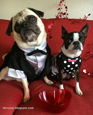 Pug and Boston terrier ready for Valentine's day