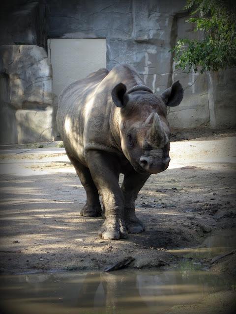 rhino at Brookfield Zoo