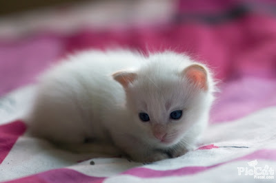 Beautiful Cat Wallpapers Cute White Cat Babies Picture Wallpaper