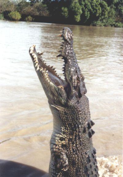 Buaya Air Asin Hewan Paling Berbahaya Di Dunia
