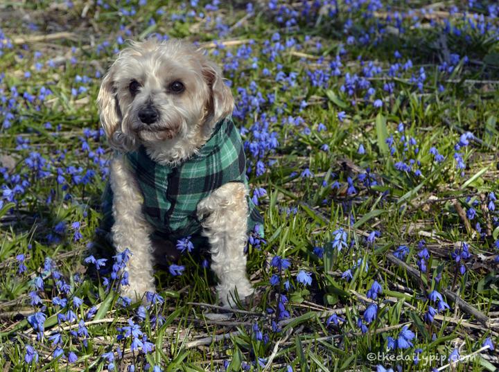 Yorkie-poo spring flowers
