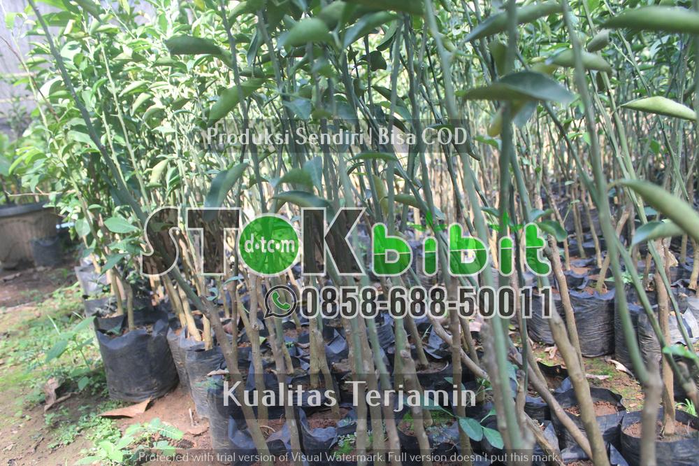 Budidaya sukun dengan cara stek akar    berkualitas       Lengkap