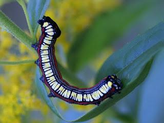Cucullia convexipennis - Cucullie de l'aster