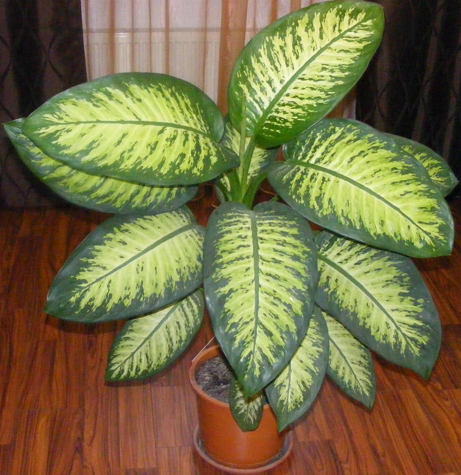 dieffenbachia, floare, cum se ingrijeste si inmulteste dieffenbachia, flori de apartament, flori decorative, floare decorativa, floare de apartament, ingrijirea florilor,