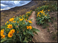 Yellow Arrowleaf Balsamroot Wild Flower Field up Dry Canyon Lindon, Utah in 360 Degrees