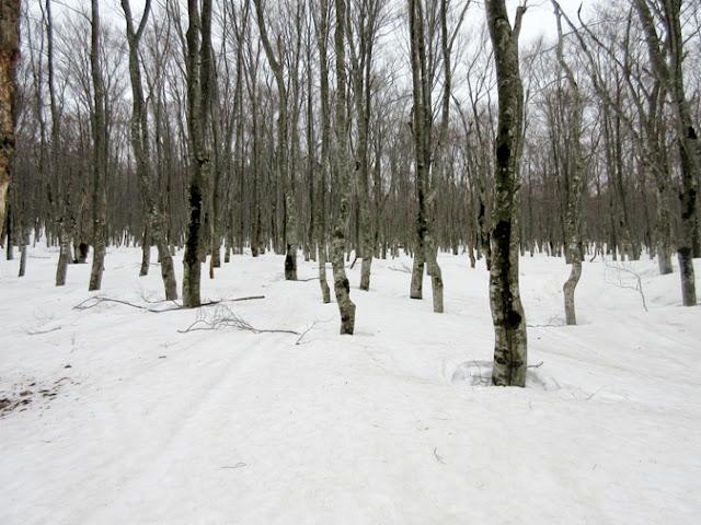 残雪のブナ森