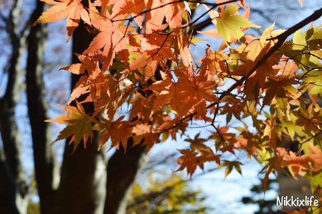 【日本。河口湖】紅葉回廊:觀賞紅葉和富士山的好地點! 6