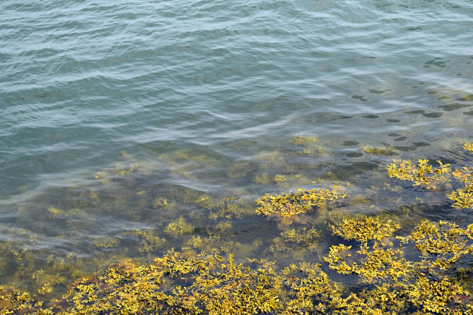 Clear water and Seaweed at the Harbour in Copenhagen