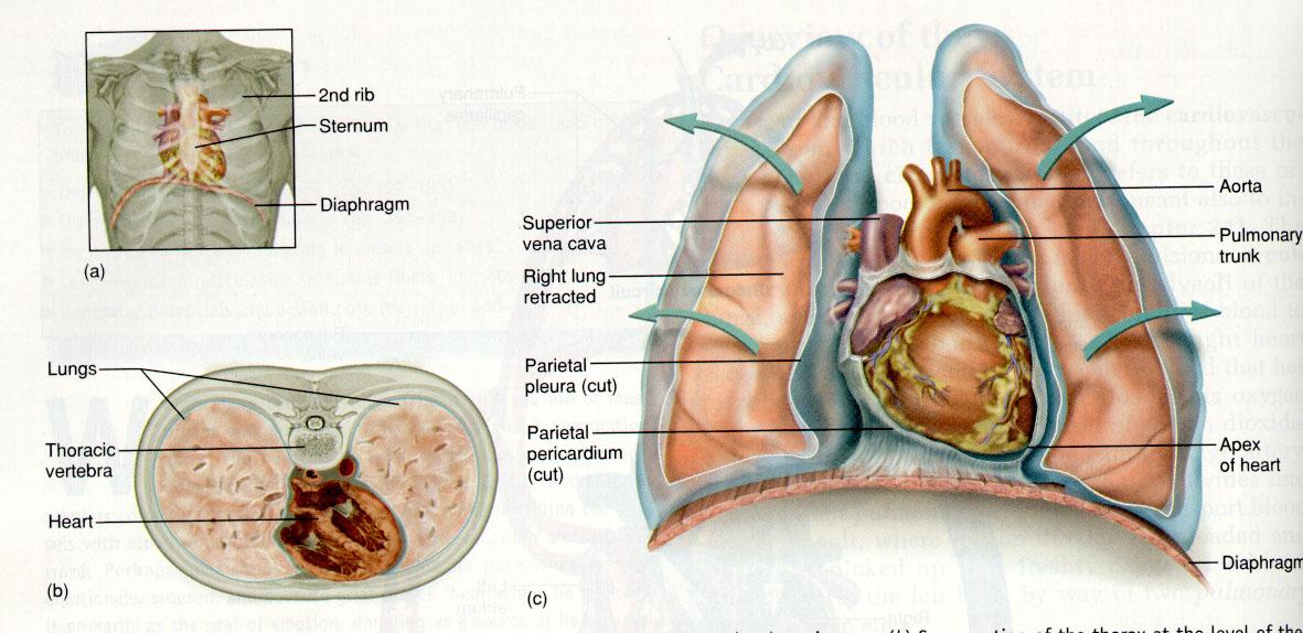 Anatomía del corazón : Generalidades del corazón